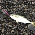 すずパパさんの静岡県でのシイラの釣果写真