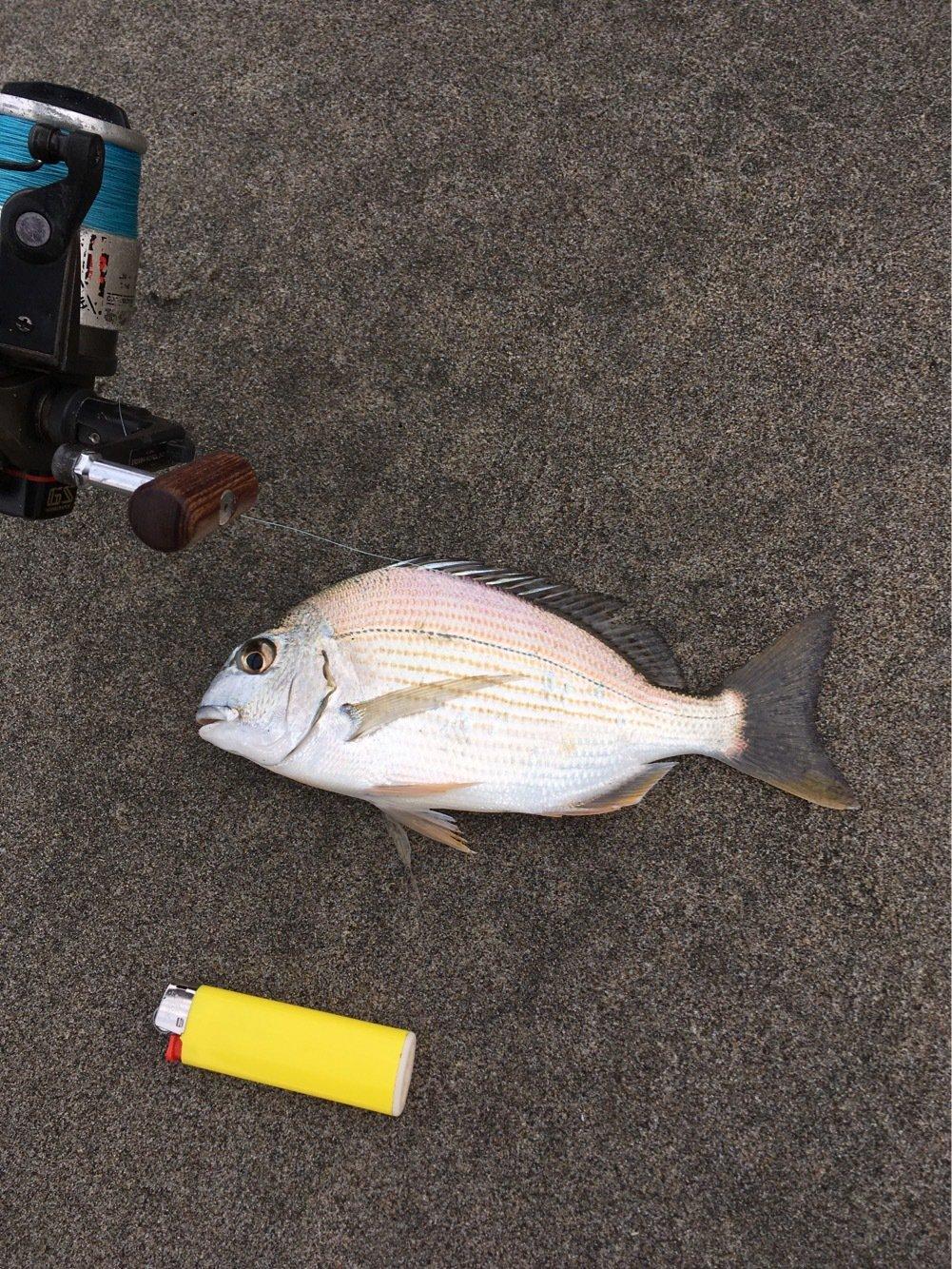 よしさんの投稿画像,写っている魚はヘダイ