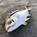 ふっちーさんの静岡県湖西市での釣果写真