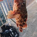 TOROROさんの兵庫県神戸市でのカサゴの釣果写真