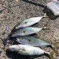かーずさんの静岡県湖西市での釣果写真