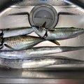 ショウ・アズナブルさんの神奈川県でのマサバの釣果写真