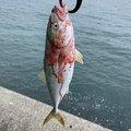Mr.NRHDさんの茨城県日立市での釣果写真