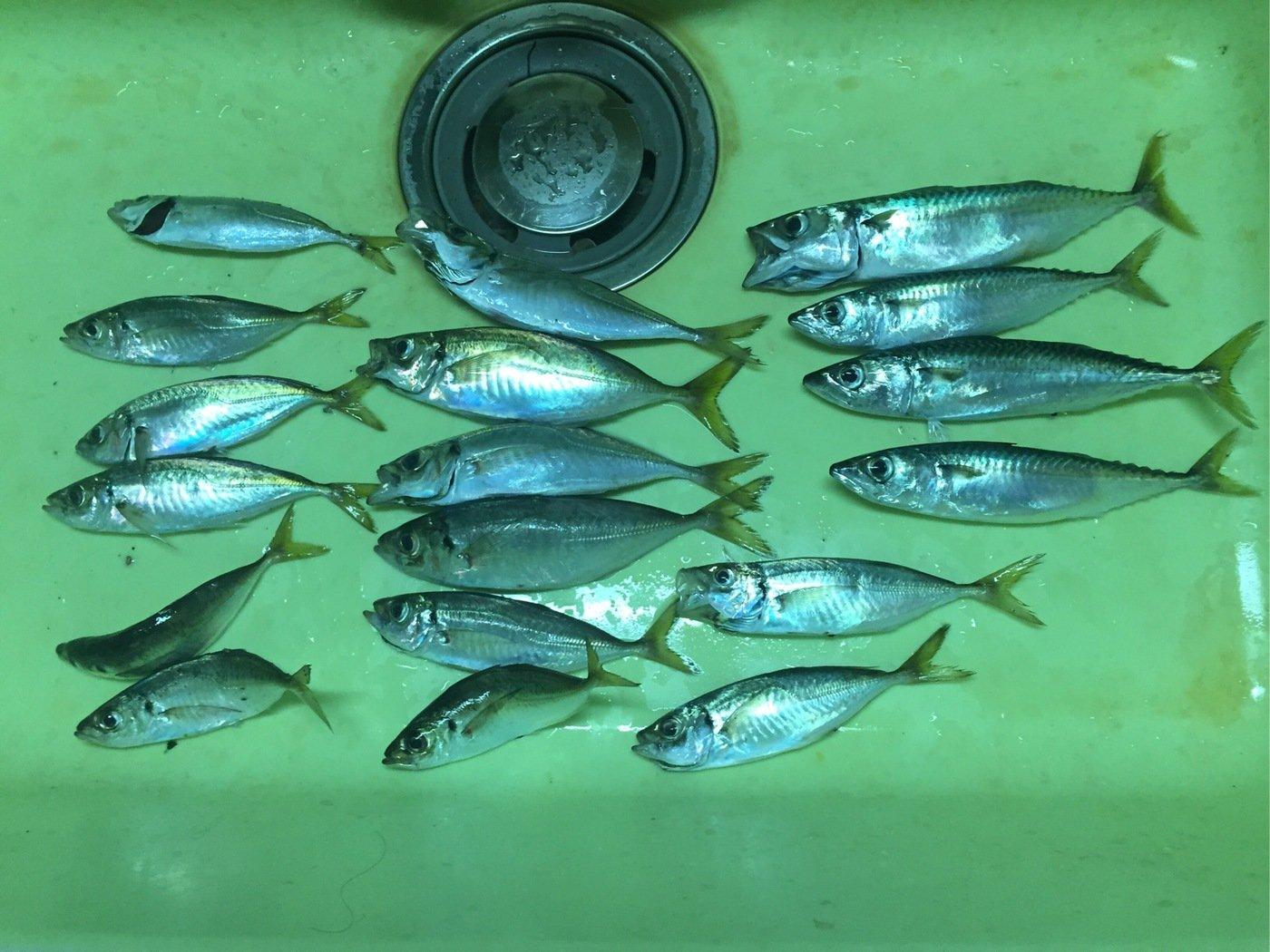 たけちゃんさんの投稿画像,写っている魚はアジ