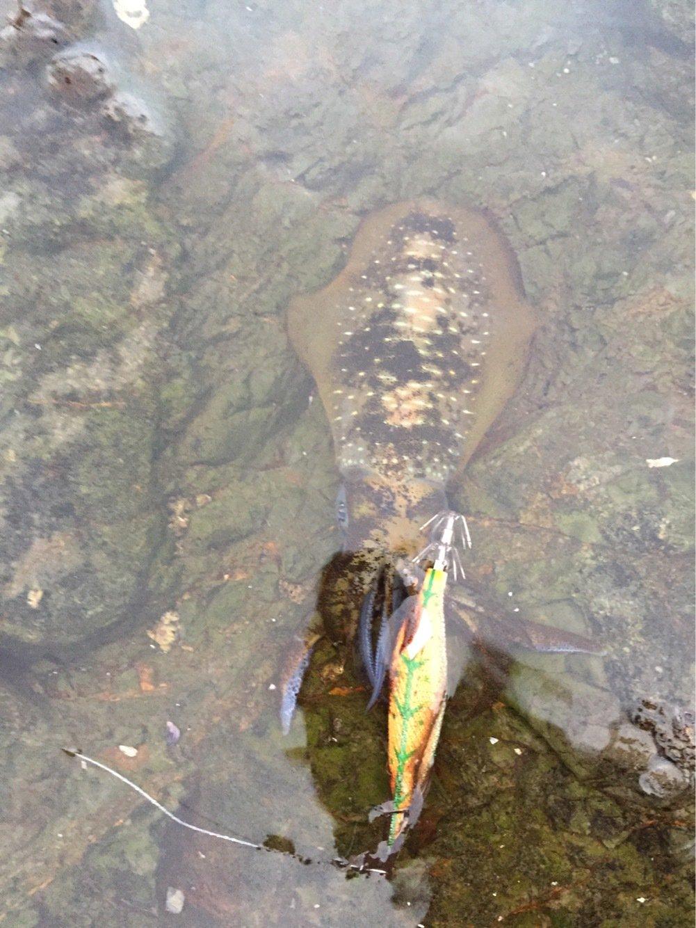 ザキヤマさんの投稿画像,写っている魚はアオリイカ