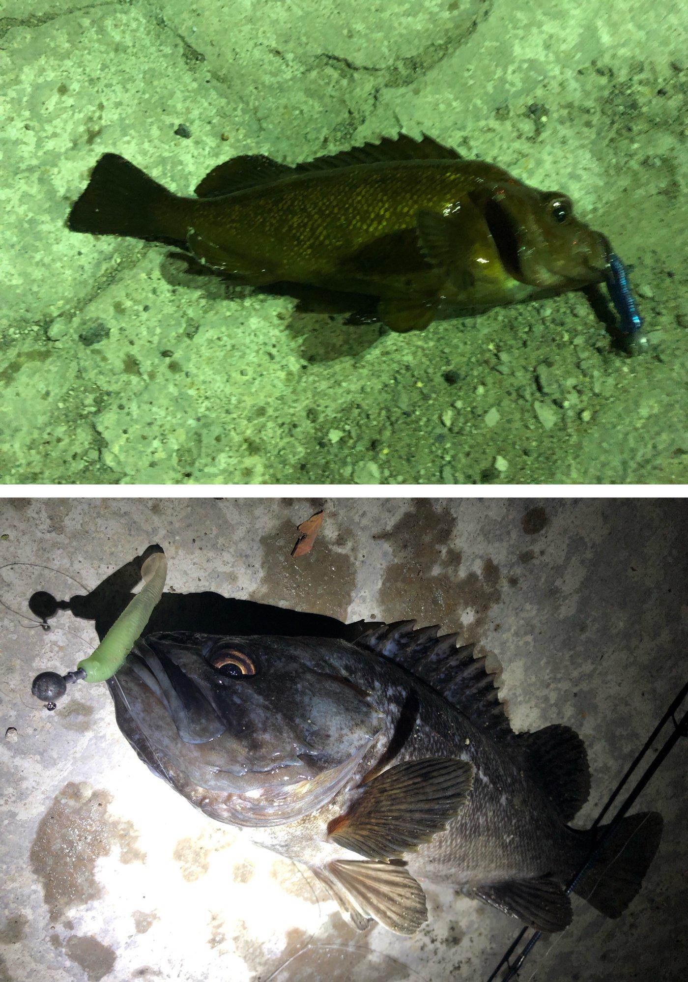 たかわんさんの投稿画像,写っている魚はエゾメバル,クロソイ