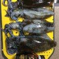 タカシさんの山形県新庄市での釣果写真