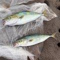 よしさんの神奈川県足柄下郡での釣果写真