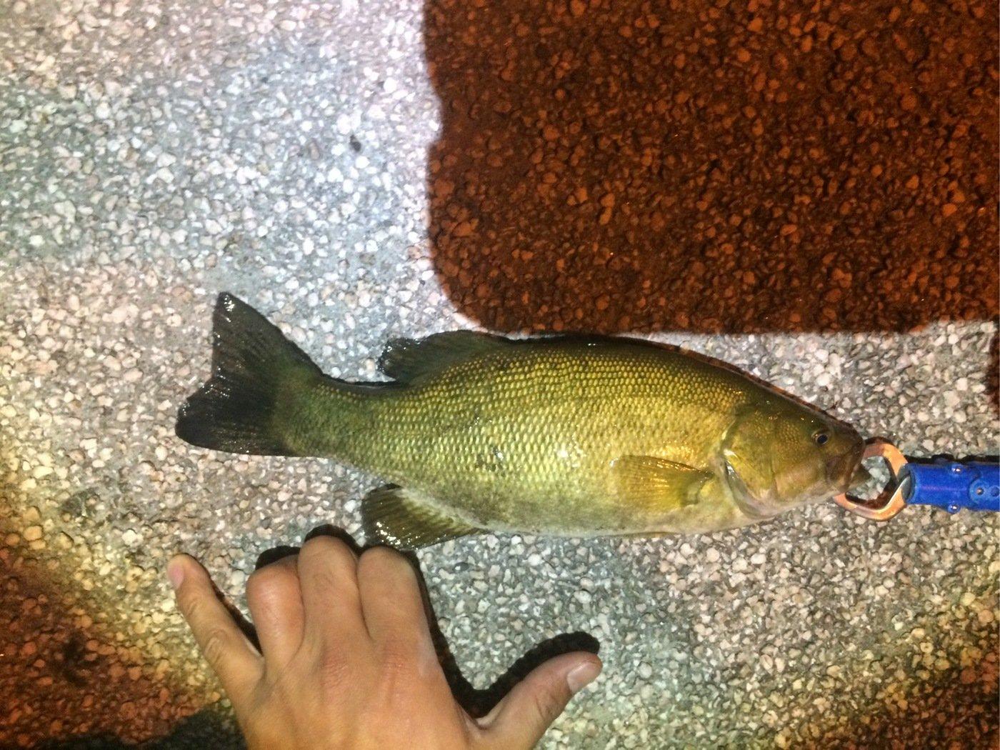 シーアツさんの投稿画像,写っている魚はスモールマウスバス
