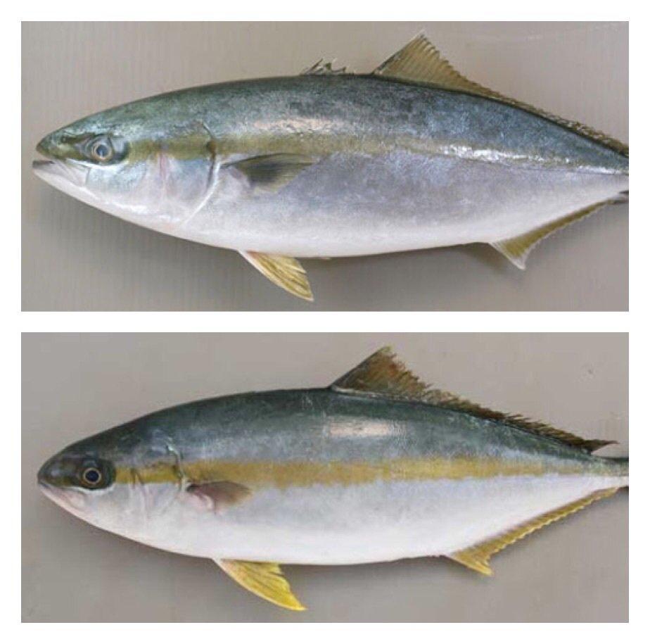 スズキ@愛宕浜さんの投稿画像,写っている魚は