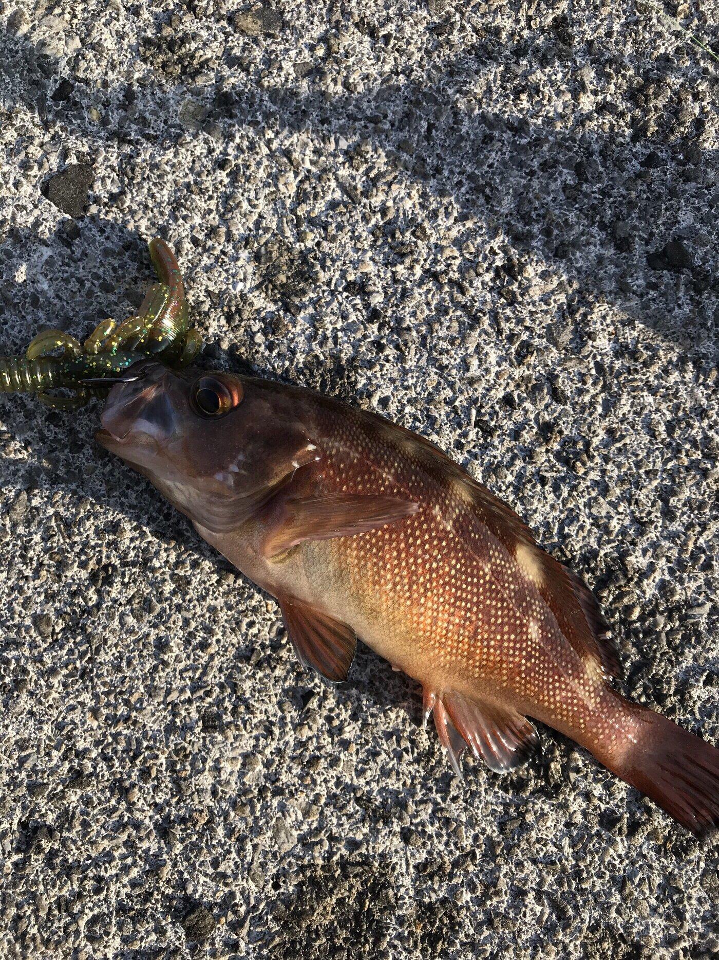 ぷーたろうさんの投稿画像,写っている魚はエゾメバル