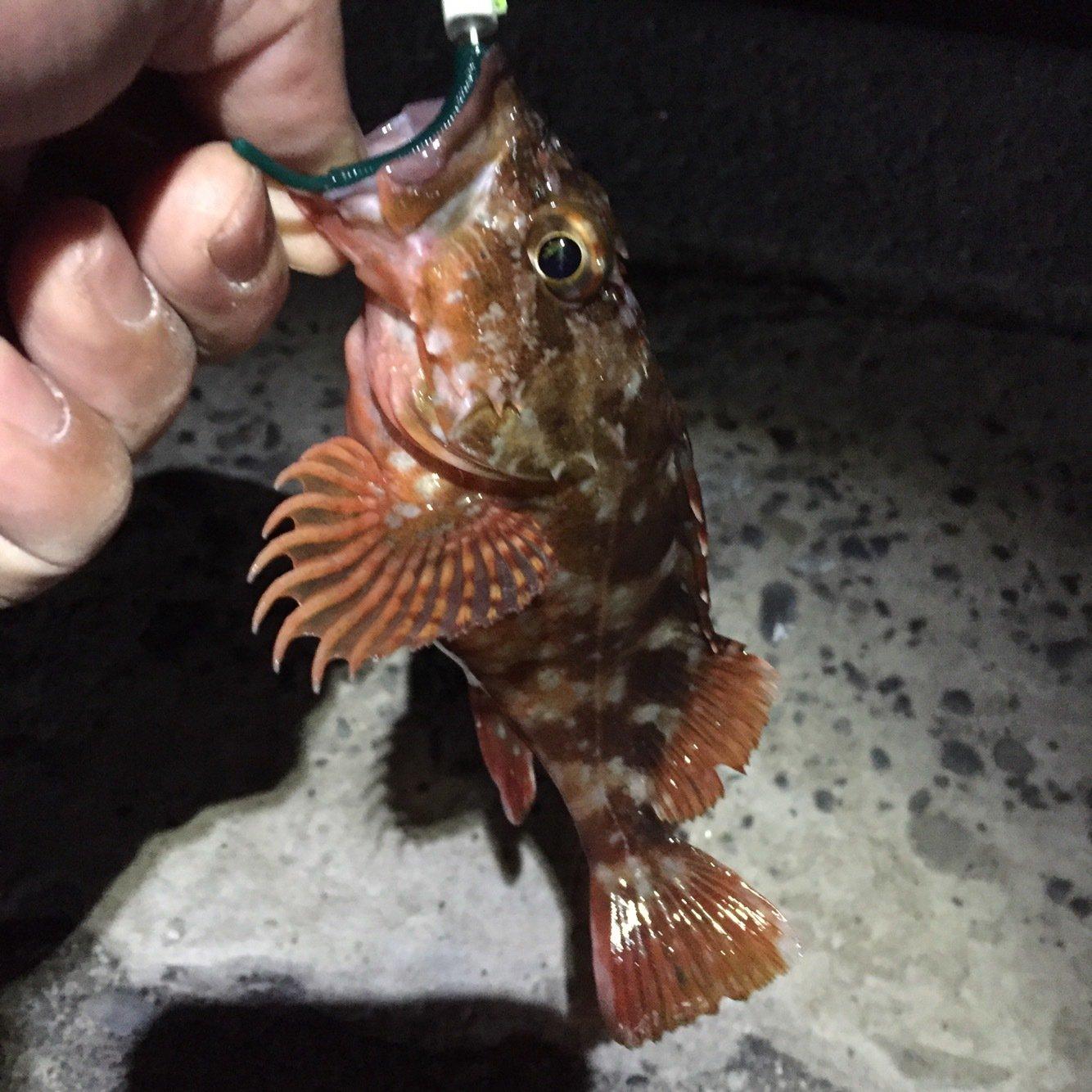 グラッチェさんの投稿画像,写っている魚はカサゴ
