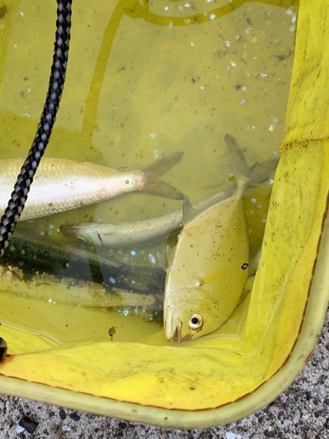 Ayu*さんの投稿画像,写っている魚はマイワシ