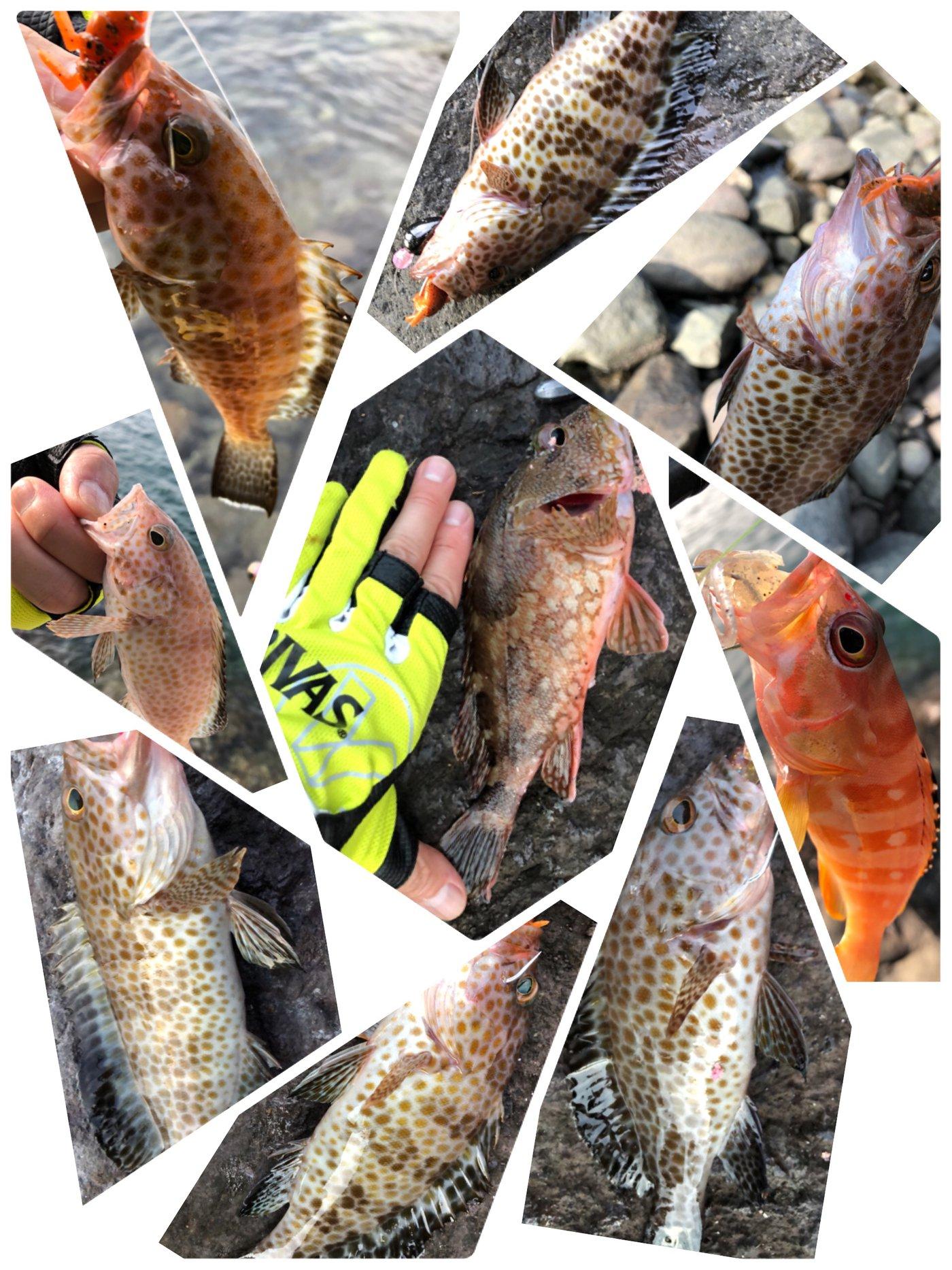 たこたかさんの投稿画像,写っている魚はオオモンハタ,アカハタ,カサゴ,