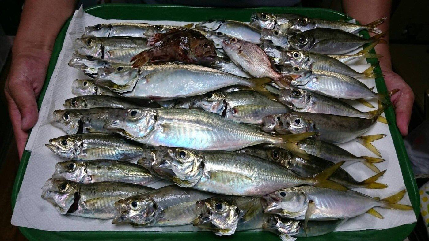 孫我空さんの投稿画像,写っている魚はアジ