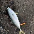 やぎさんの茨城県鹿嶋市での釣果写真