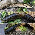 かめんぐさんのライギョの釣果写真