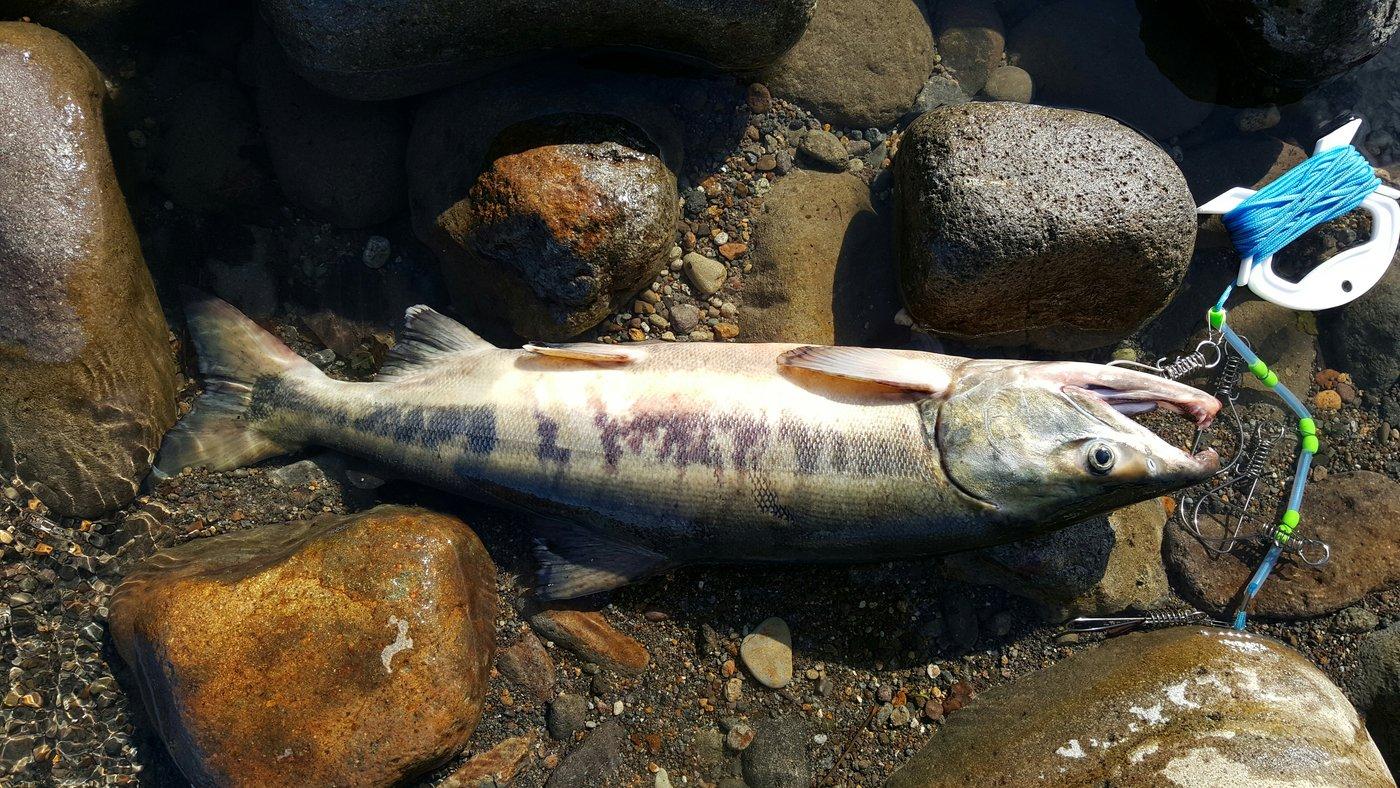 よしゆきさんの投稿画像,写っている魚はサケ
