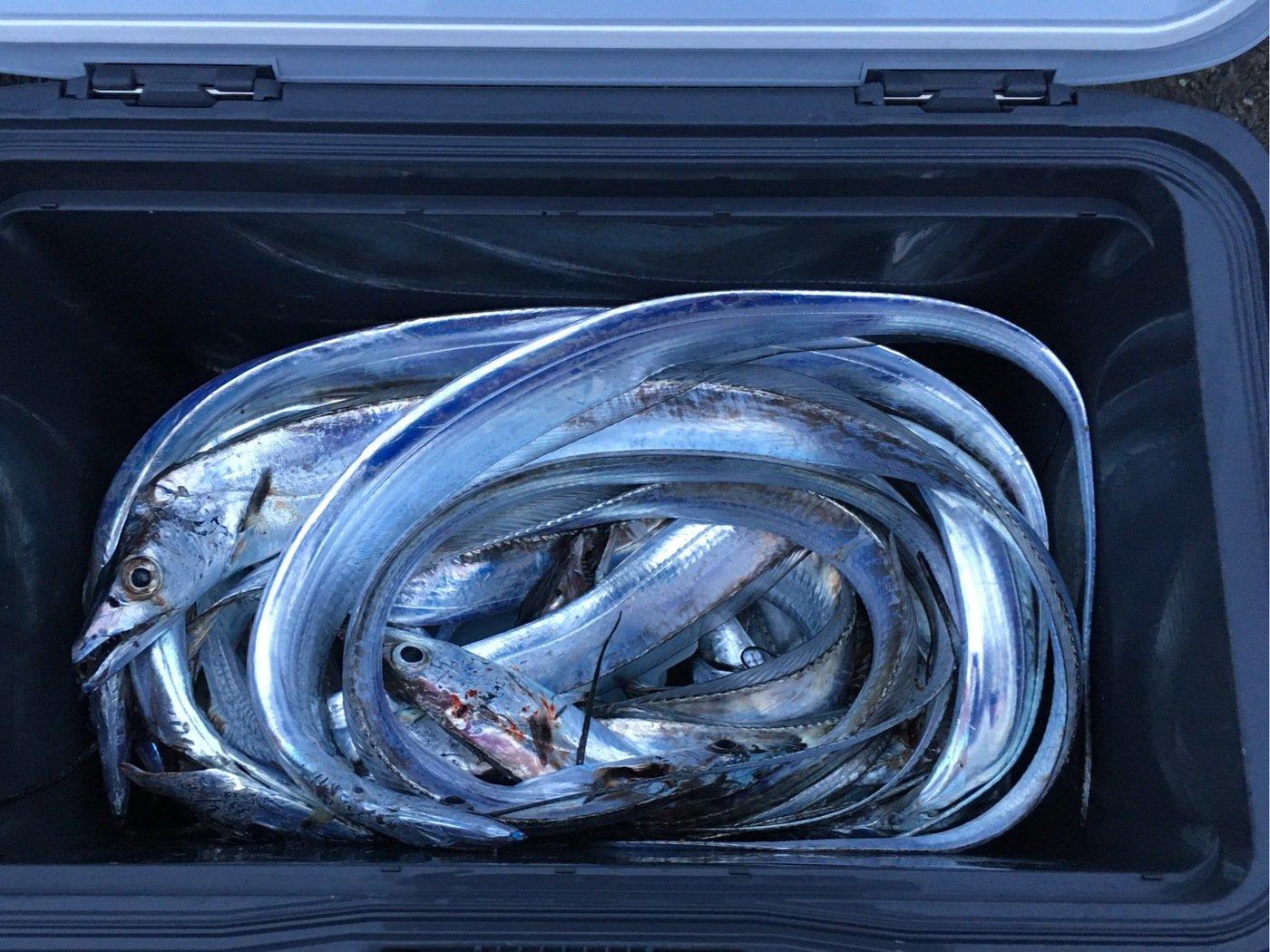 オキさんの投稿画像,写っている魚はタチウオ