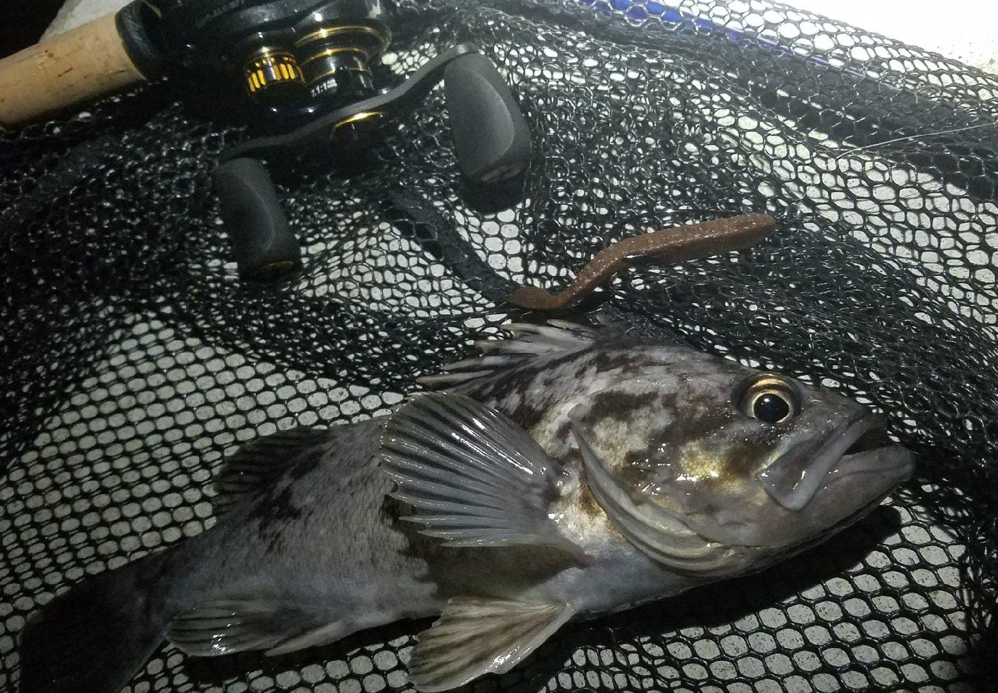 かっつんぷぅさんの投稿画像,写っている魚はクロソイ