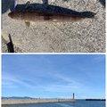 うんすいさんの兵庫県洲本市での釣果写真