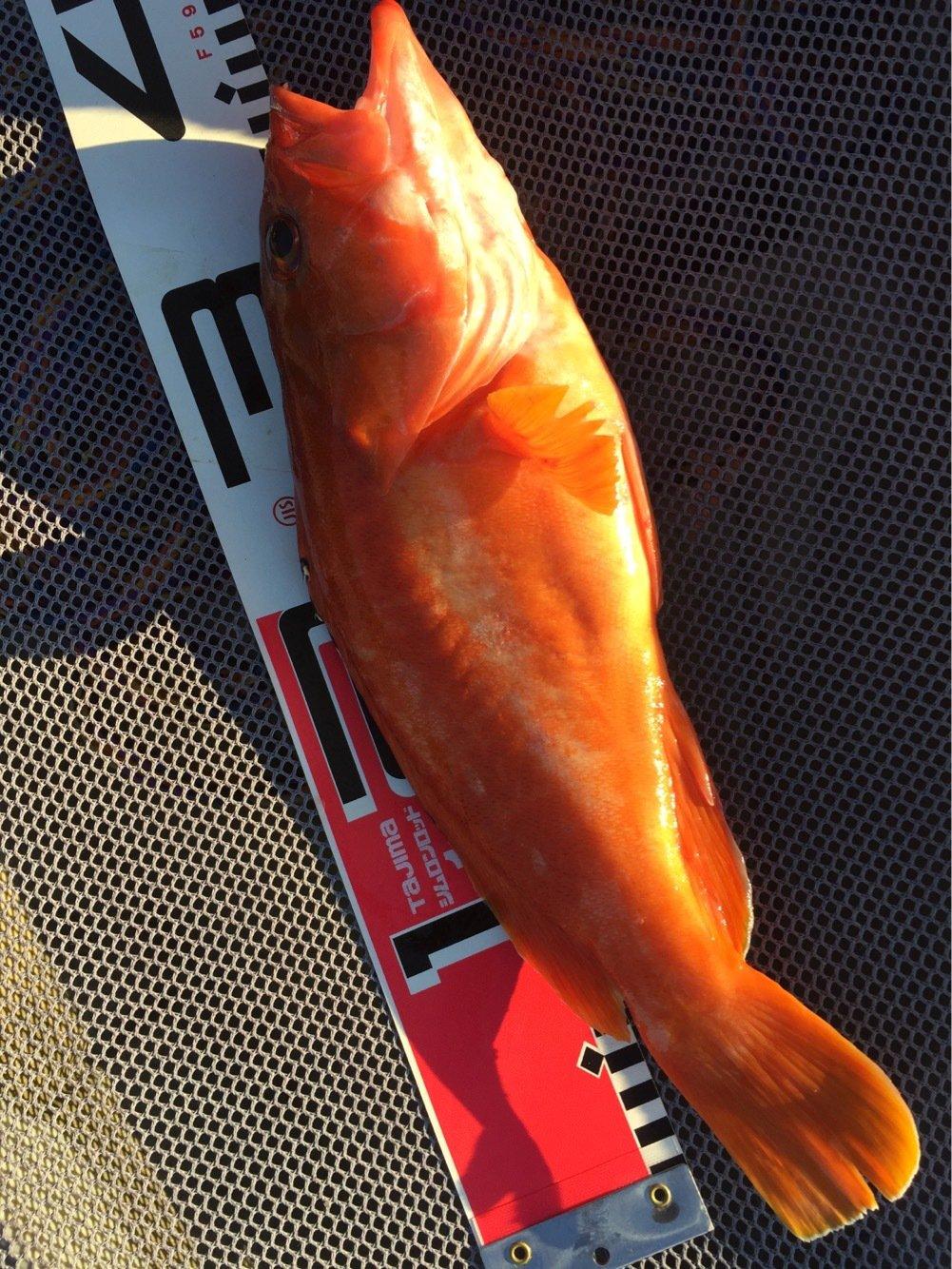 豚猫さくら2さんの投稿画像,写っている魚はアカハタ