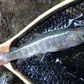 showwwww_1さんの山梨県での釣果写真