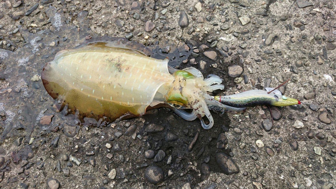 あっきーさんの投稿画像,写っている魚はアオリイカ