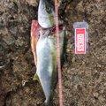 しょーりさんの石川県能美市での釣果写真