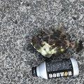 西岡春雄さんの愛媛県松山市でのカワハギの釣果写真