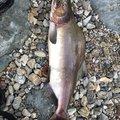 Akiさんの北海道枝幸郡での釣果写真