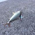 だいこんさんの宮崎県延岡市での釣果写真