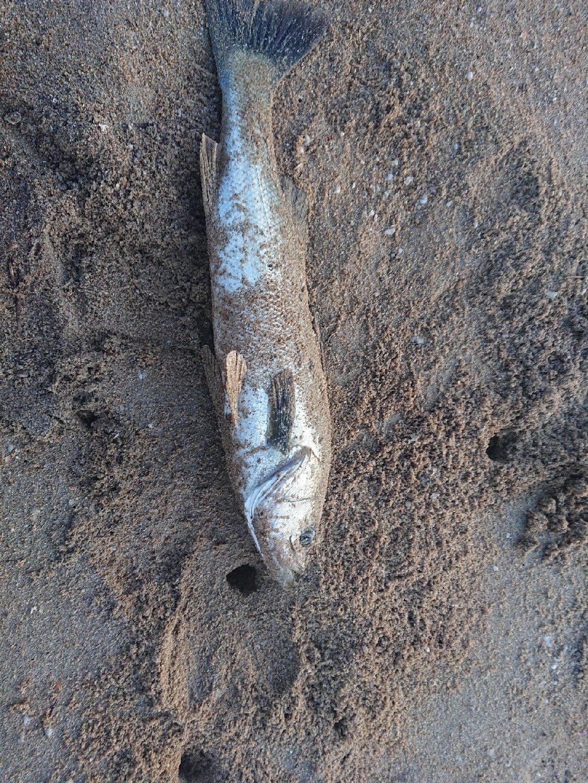 mkさんの投稿画像,写っている魚はスズキ