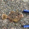 trumpeterhiro さんの兵庫県明石市でのカワハギの釣果写真