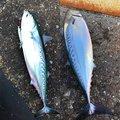 さかもとっぷけいさんの神奈川県でのマルソウダの釣果写真