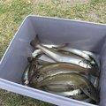 YOSHIKISSさんの静岡県浜松市での釣果写真
