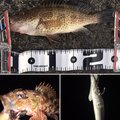 ☆nabecchi☆さんの静岡県沼津市でのカサゴの釣果写真