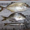はとぽっぽさんの大阪府泉佐野市での釣果写真