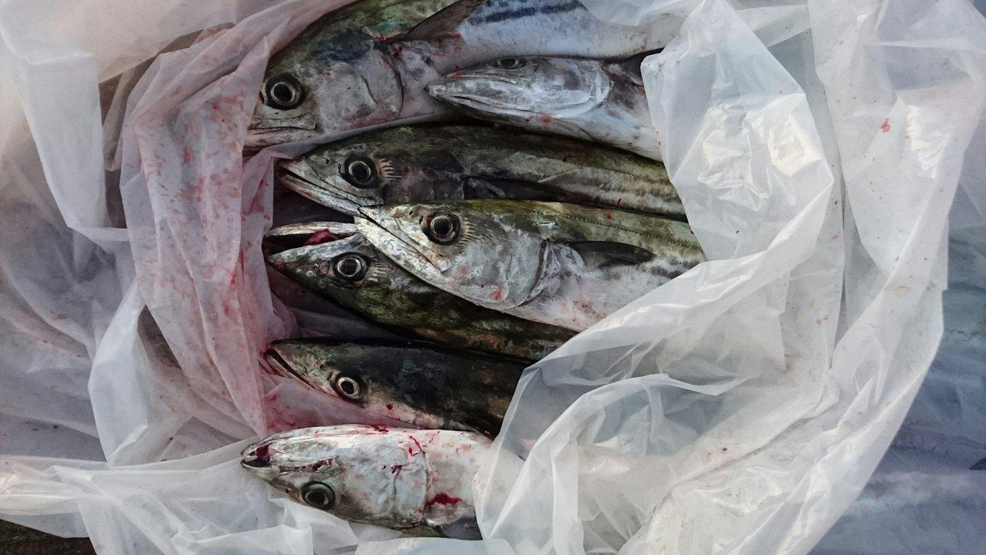 釣れないアングラーさんの投稿画像,写っている魚はサワラ