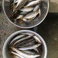 Ryo さんの福岡県でのシロギスの釣果写真