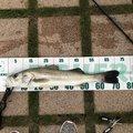 ビギナー釣り師さんの石川県でのスズキの釣果写真