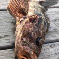 YUUHATSUさんのタケノコメバルの釣果写真