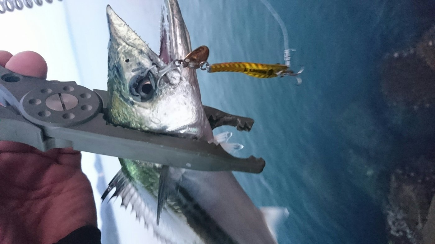 トシ君よーさんの投稿画像,写っている魚はタチウオ