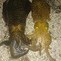 社畜Sさんの山口県萩市でのアオリイカの釣果写真