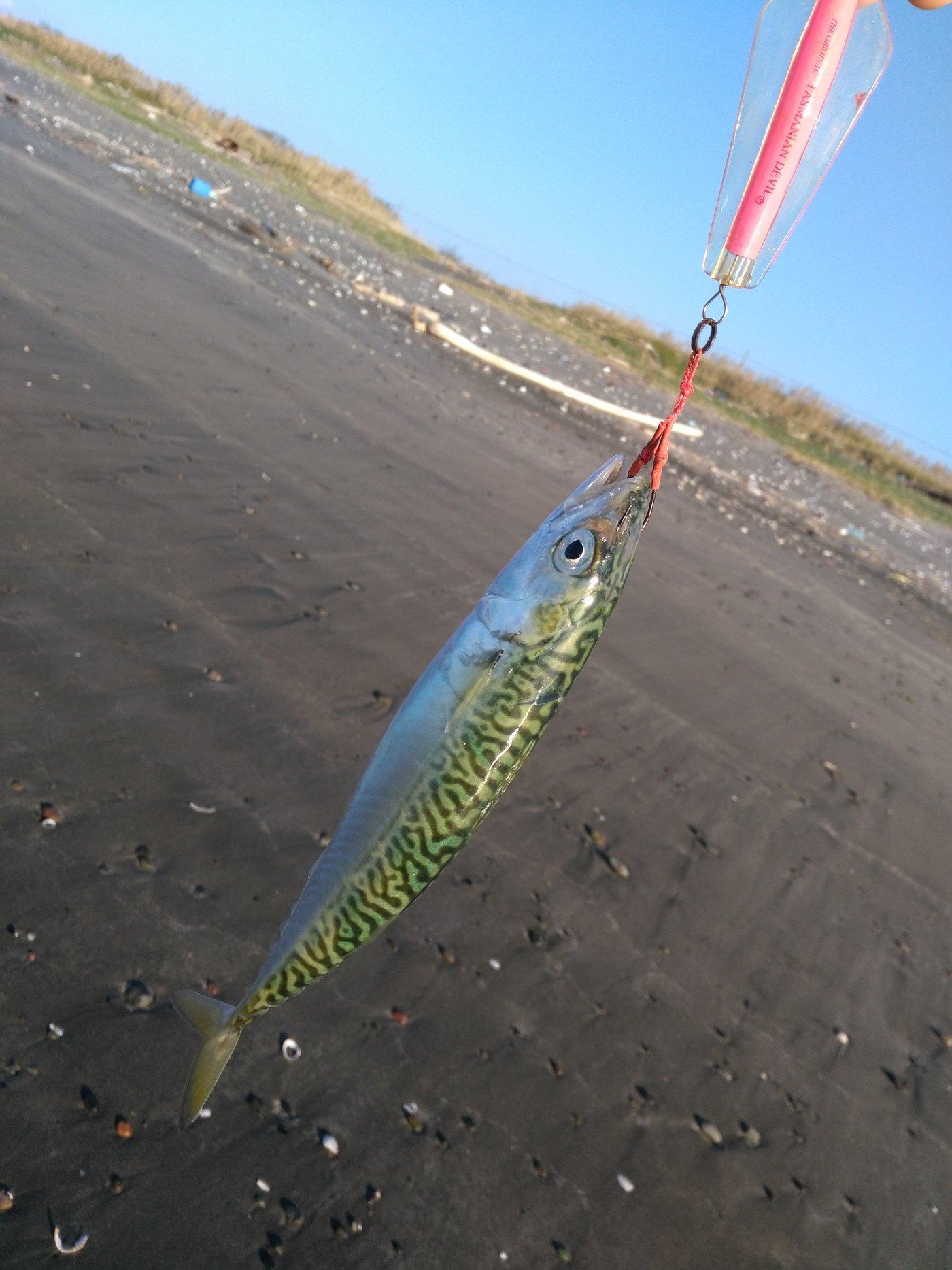 kazu snowyさんの投稿画像,写っている魚はマサバ