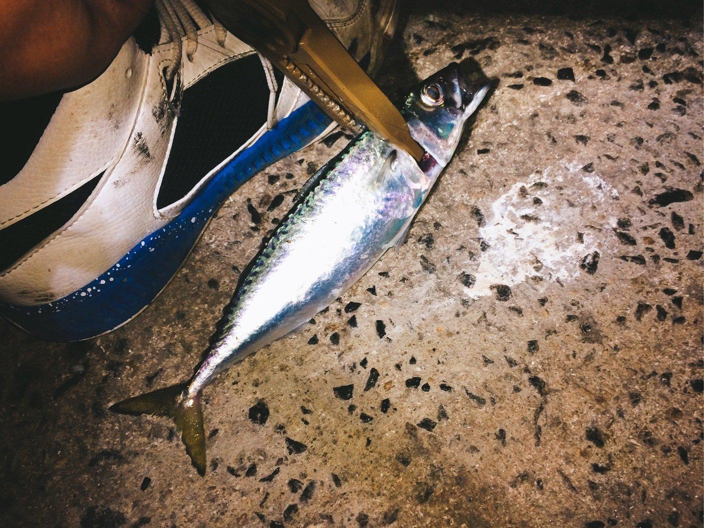 Light®️iggerさんの投稿画像,写っている魚はゴマサバ