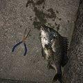ながのさんの高知県高知市でのキチヌの釣果写真