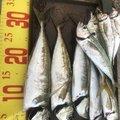 最近はアジングばっかりさんの兵庫県豊岡市での釣果写真