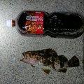 まー@弾丸Xさんのタケノコメバルの釣果写真