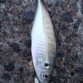 マーくんさんの富山県射水市での釣果写真